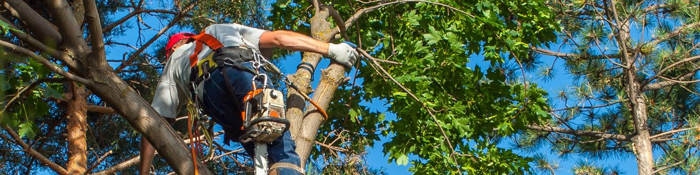 Arborist climbing tree with chainsaw and safety equipment