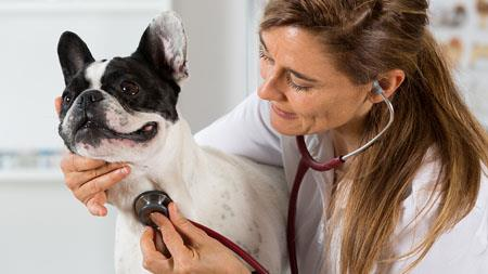 dog being examined by vet with stethescope