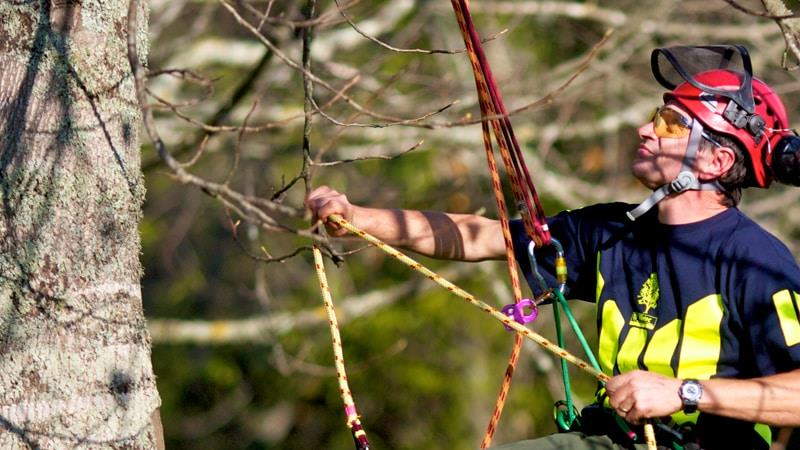Arborist climbing tree wearing safety gear
