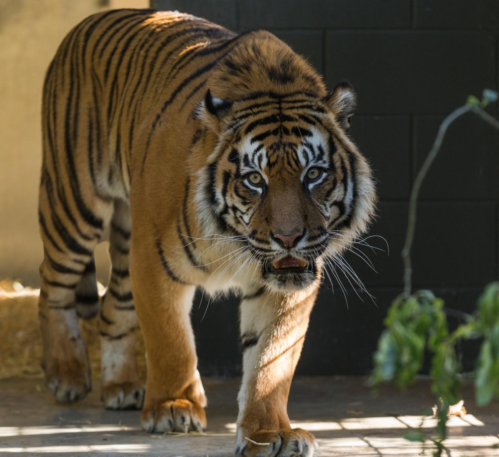 Animal Care students study tiger enclosure at Hamilton Zoo